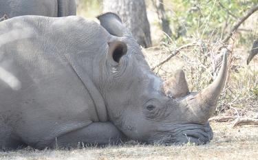 Kruger National Park weather: napping rhino
